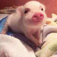 猪猪情侣头像呆萌一左一右 抖音可爱真实猪情侣头像