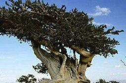 自然界千姿百态的罕见十大种树