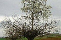 意大利神奇的桑树樱桃树双生树