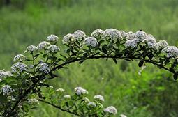 落叶灌木接骨木高清植物图片大全