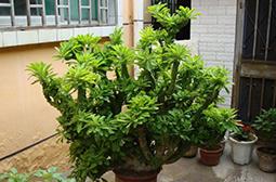 厚肉质植物金麒麟花高清图片大全