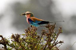 美丽的小鸟紫胸佛法僧高清摄影图片