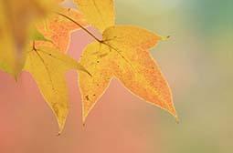唯美养眼的秋季枫叶高清桌面壁纸