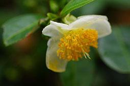 拍摄洁白温润的山茶花唯美花卉壁纸