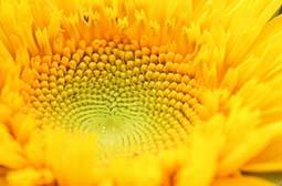 微距下的向日葵高清花卉特写壁纸