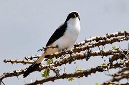 栖息中的灰背长尾伯劳鸟类动物图片