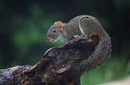 摄影木头上的野生动物岩松鼠图片