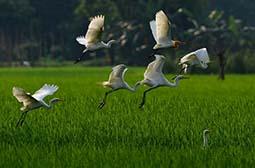 抓拍起飞的田间白鹭高清动物图片