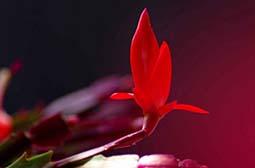 观察植物红色蟹爪兰唯美花卉壁纸