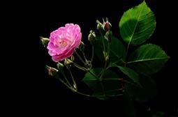 唯美粉色蔷薇花高清植物图片壁纸