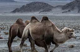 荒漠上的有蹄动物野骆驼摄影图片