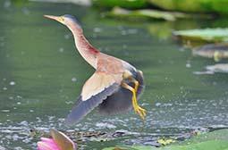 高清抓拍飞行的鸟类动物黄苇鳽图片