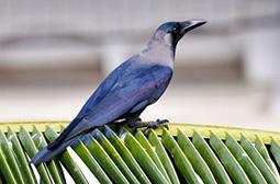雀形目鸟类大嘴乌鸦高清壁纸图片