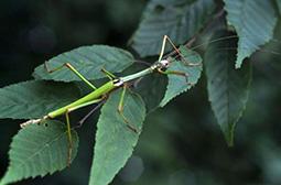 身体修长的节肢动物竹节虫图片大全