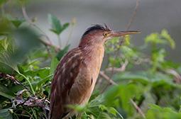 单独活动的鸟类动物黄苇鳽高清图片