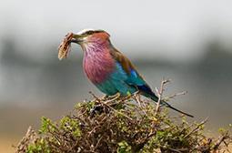 拍摄觅食的紫胸佛法僧鸟类动物图片