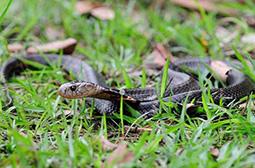 体型细长的中华眼镜蛇高清动物图片