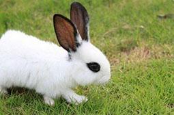 高清摄影食草的熊猫兔动物图片赏析