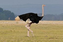 世界上最大的鸟类动物非洲鸵鸟图片