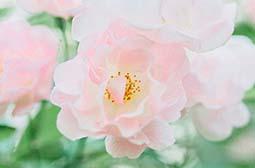 鲜艳烂漫的粉色花朵唯美花卉图片