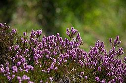 紫色花树石楠花高清图片大全赏析