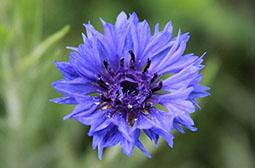 娇艳迷人紫蓝色矢车菊花卉壁纸