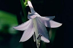 草本植物紫萼开花高清摄影图片