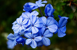 夏日的蓝雪花高清花卉图片大全