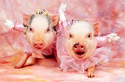 可爱卖萌的小猪动物写真高清图片