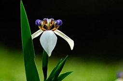盛开的巴西鸢尾高清花卉壁纸图片