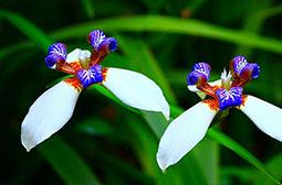 唯美艳丽巴西鸢尾花卉壁纸图片