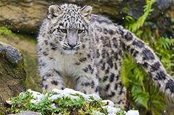 雪地间活动的动物野生雪豹图集