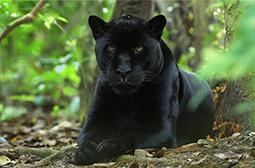 大型猫科动物黑豹子高清写真图片