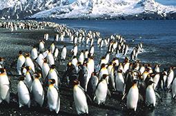 超萌可爱的南极企鹅高清动物图片