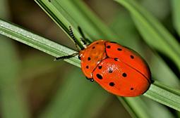 色彩鲜艳的七星瓢虫高清动物套图